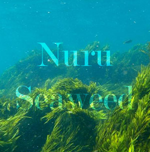 Seaweed that makes nuru gel
